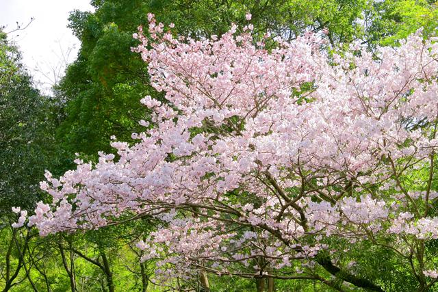 cherry_blossom_beiz.jp_S08168.jpg